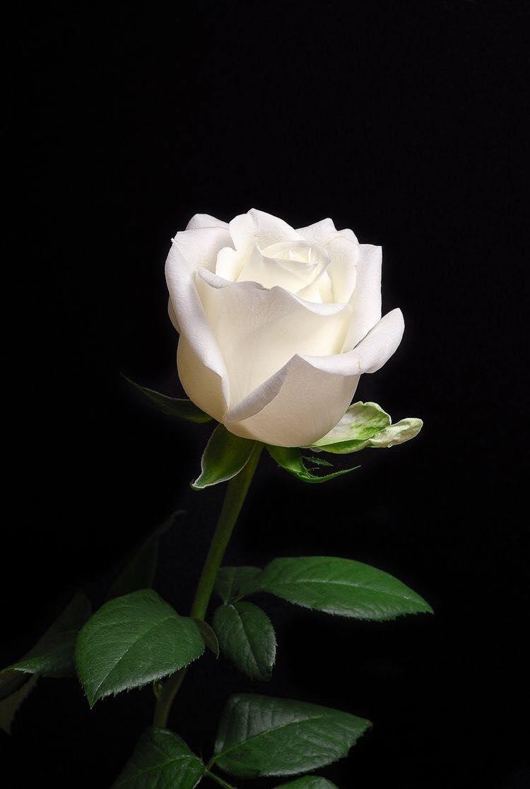 Hình ảnh Hoa đẹp (6)