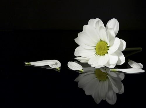Hoa Cúc Trắng Nền đen (5)